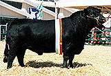 Please click here to view more information on this bull.